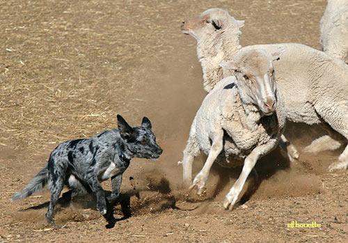 Heeler herding