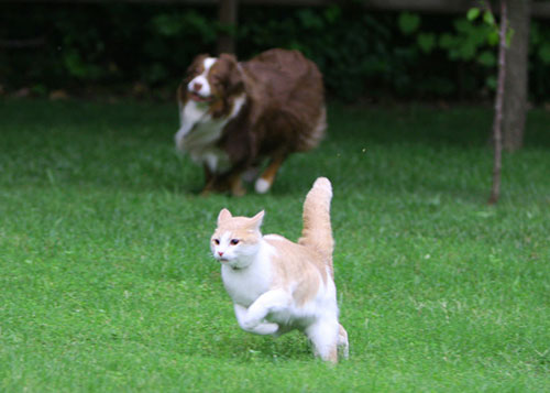 dog chasing a cat
