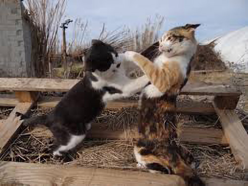 image of cats fighting