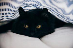 black cat in a bed