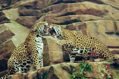 leopards hissing and fighting