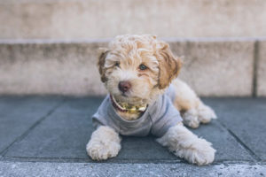 cockapoo in a shirt