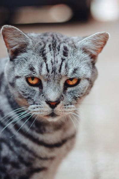 old cat arthritis