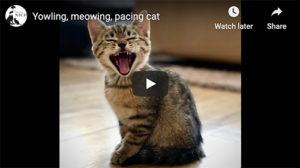 talkative cat video