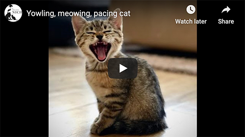 talkative cat video